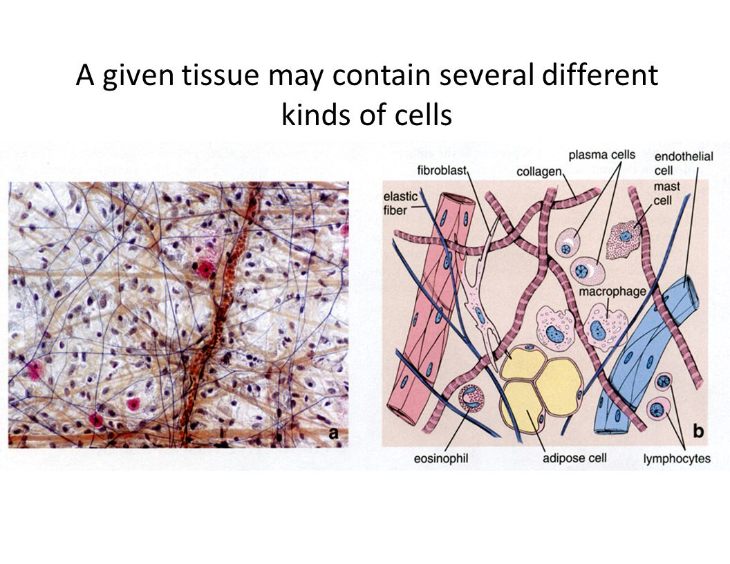 A given tissue may contain several different kinds of cells
