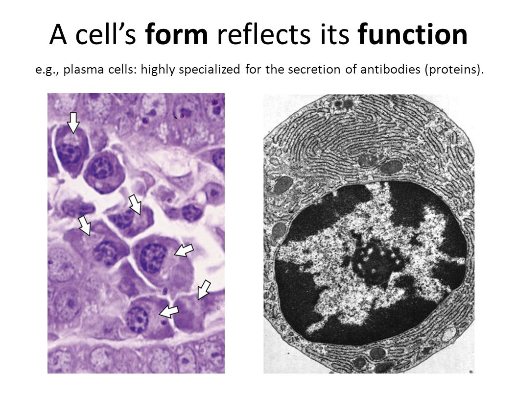 A cell's form reflects its function