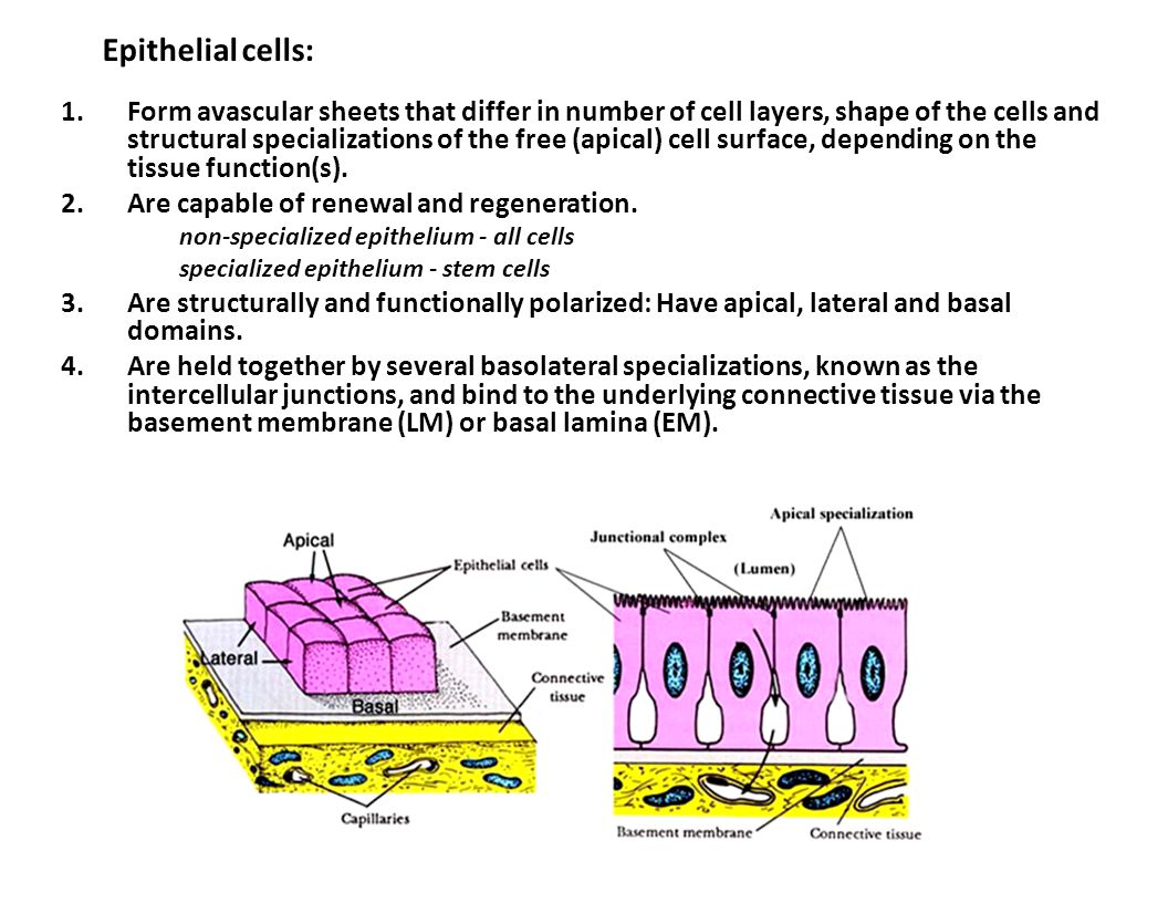 Epithelial cells: