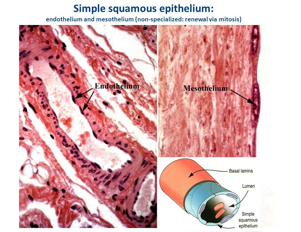 Simple squamous epithelium: