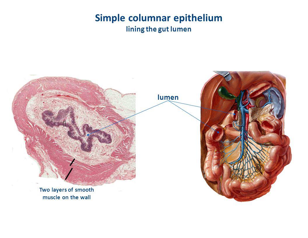 Simple columnar epithelium lining the gut lumen
