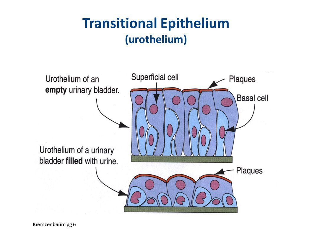 Transitional Epithelium (urothelium)