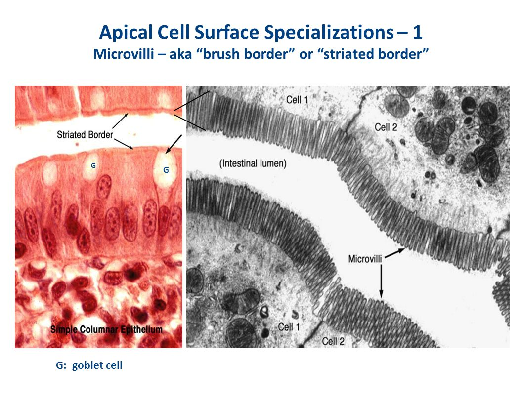 Apical Cell Surface Specializations – 1 Microvilli – aka brush border or striated border