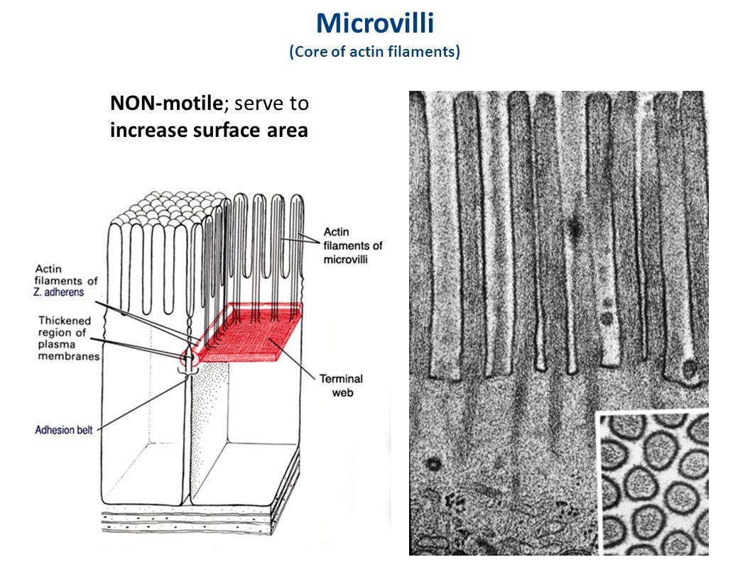 Microvilli (Core of actin filaments)