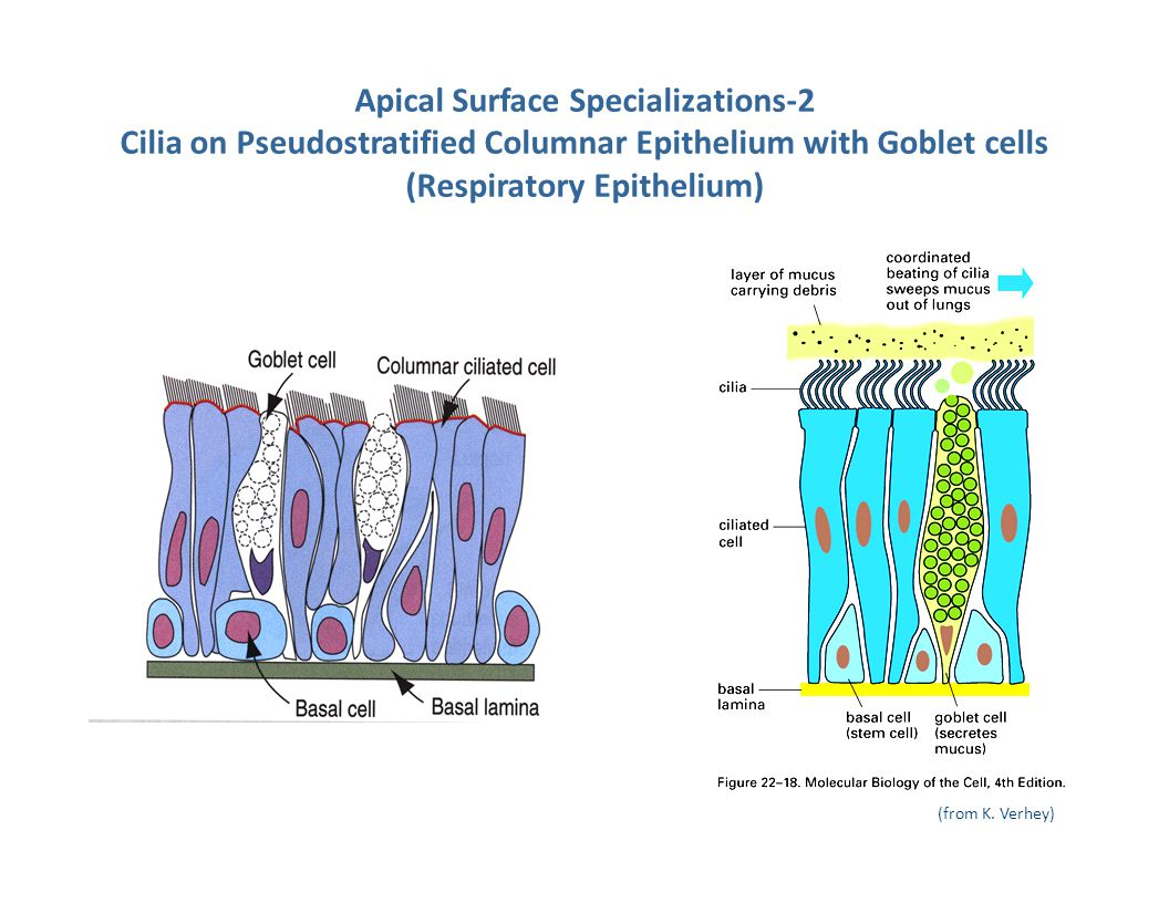 Apical Surface Specializations-2 Cilia on Pseudostratified Columnar Epithelium with Goblet cells (Respiratory Epithelium)