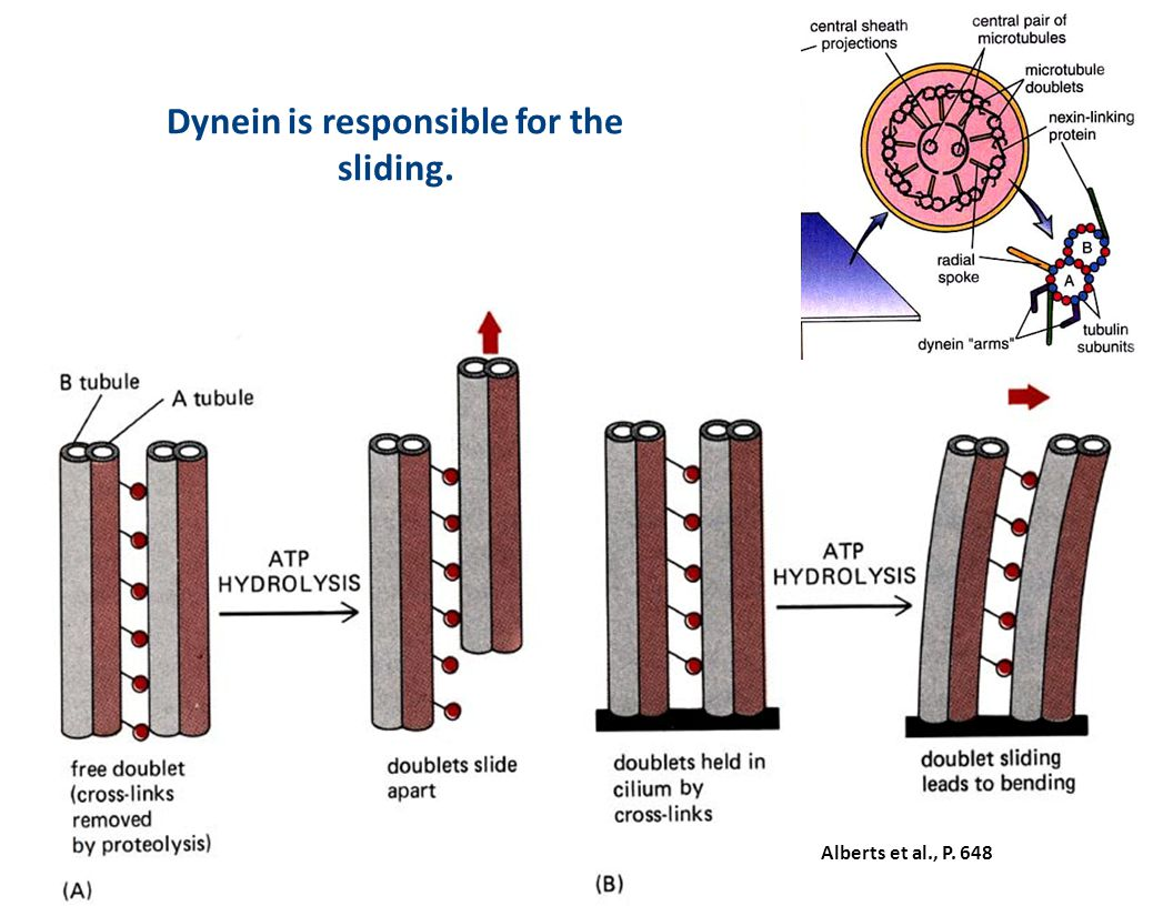 Dynein is responsible for the sliding.