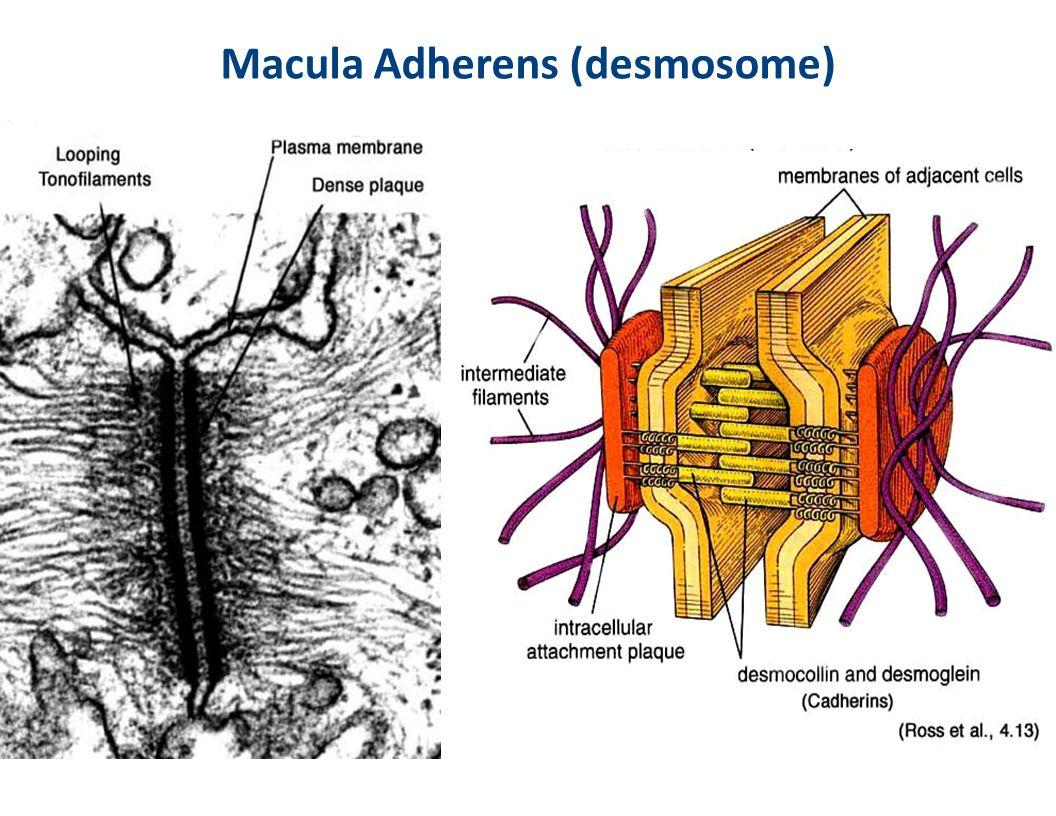 Macula Adherens (desmosome)