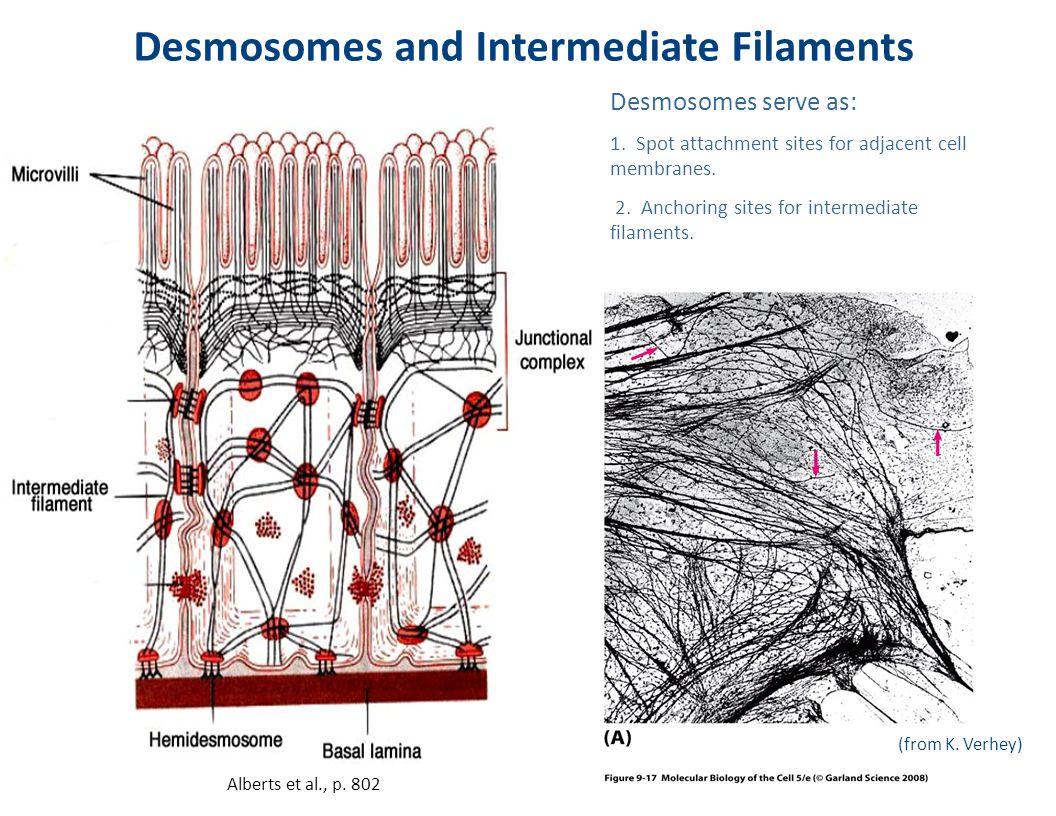 Desmosomes and Intermediate Filaments