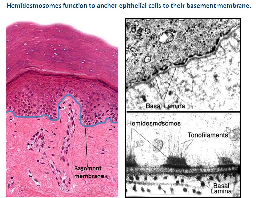 Hemidesmosomes function to anchor epithelial cells to their basement membrane.