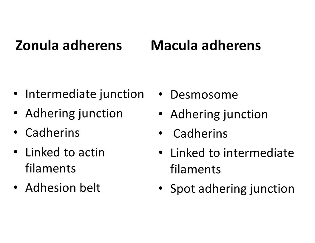 Zonula adherens Macula adherens