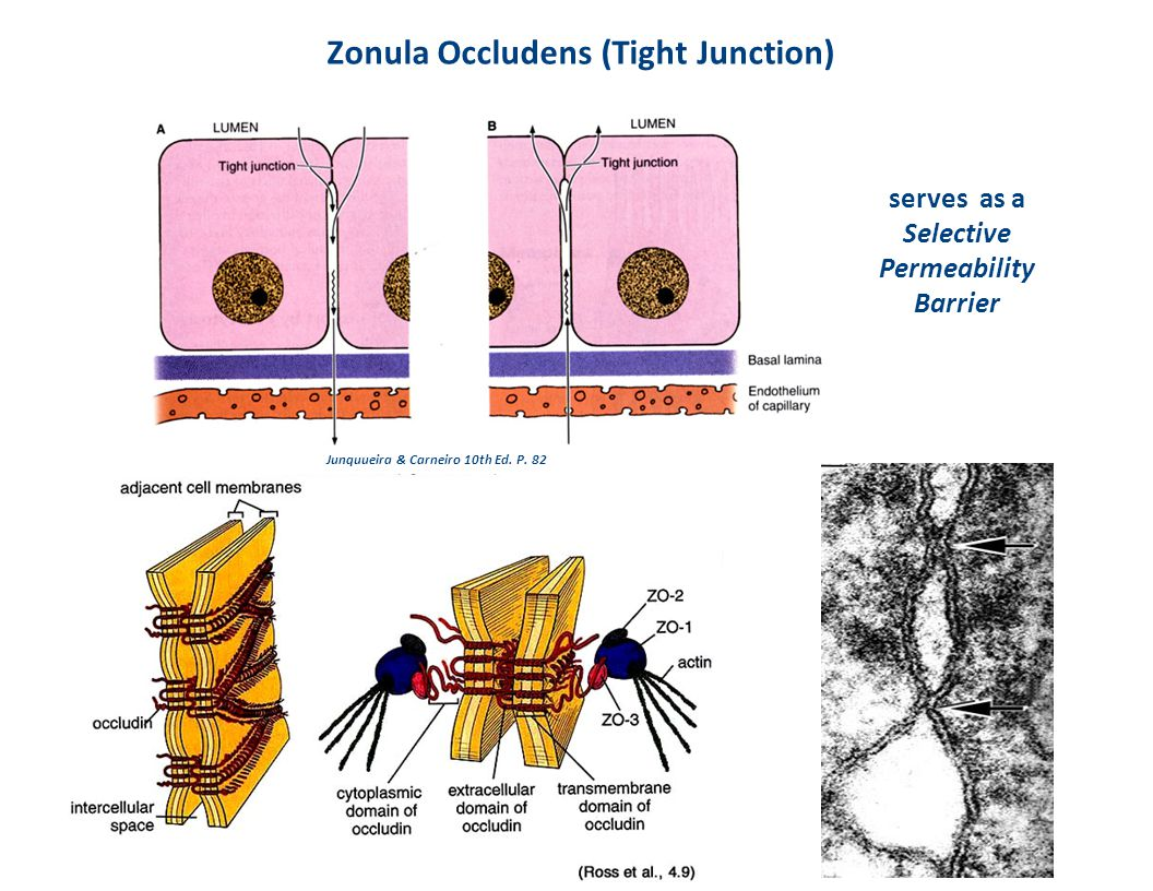 Zonula Occludens (Tight Junction)