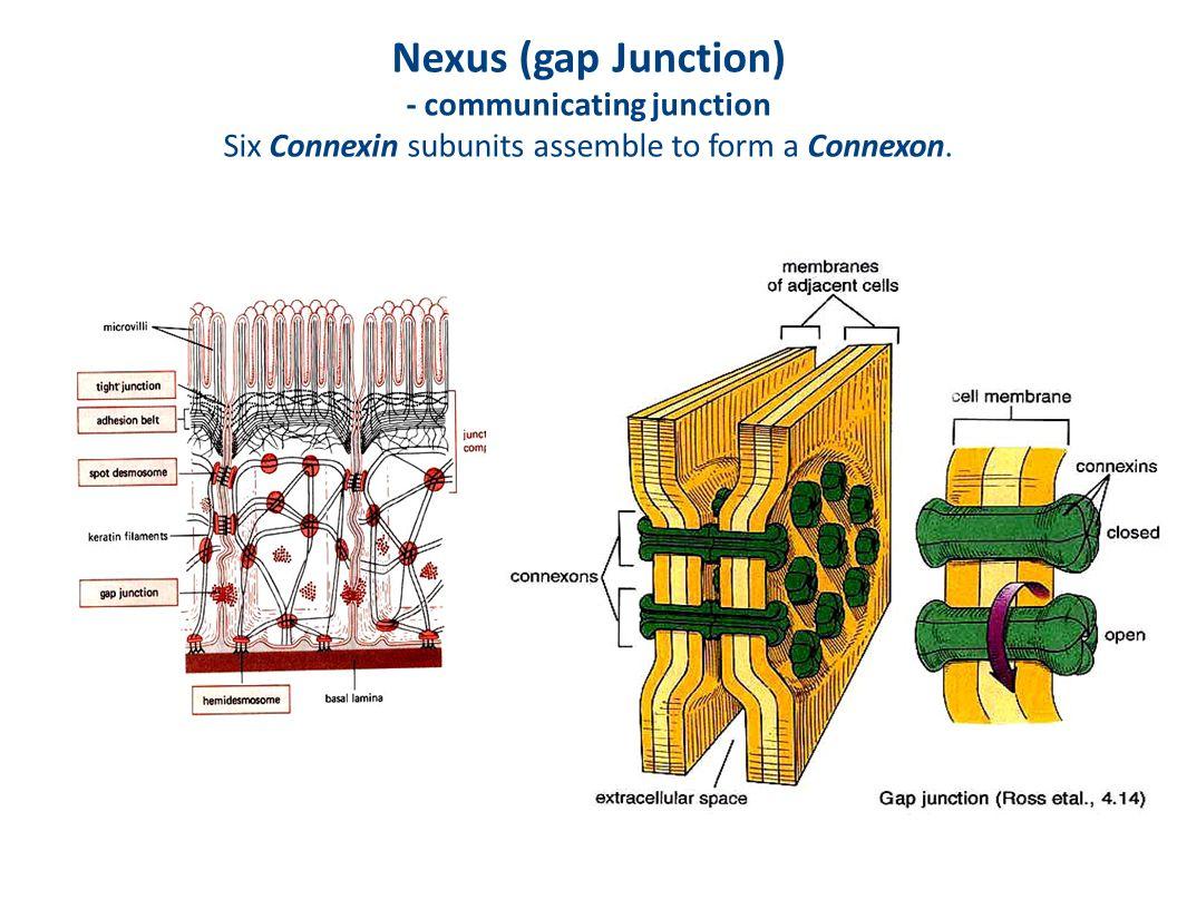 Nexus (gap Junction) - communicating junction Six Connexin subunits assemble to form a Connexon.
