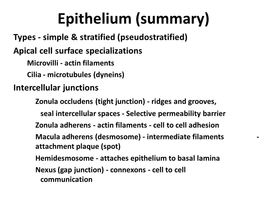 Epithelium (summary) Types - simple & stratified (pseudostratified)