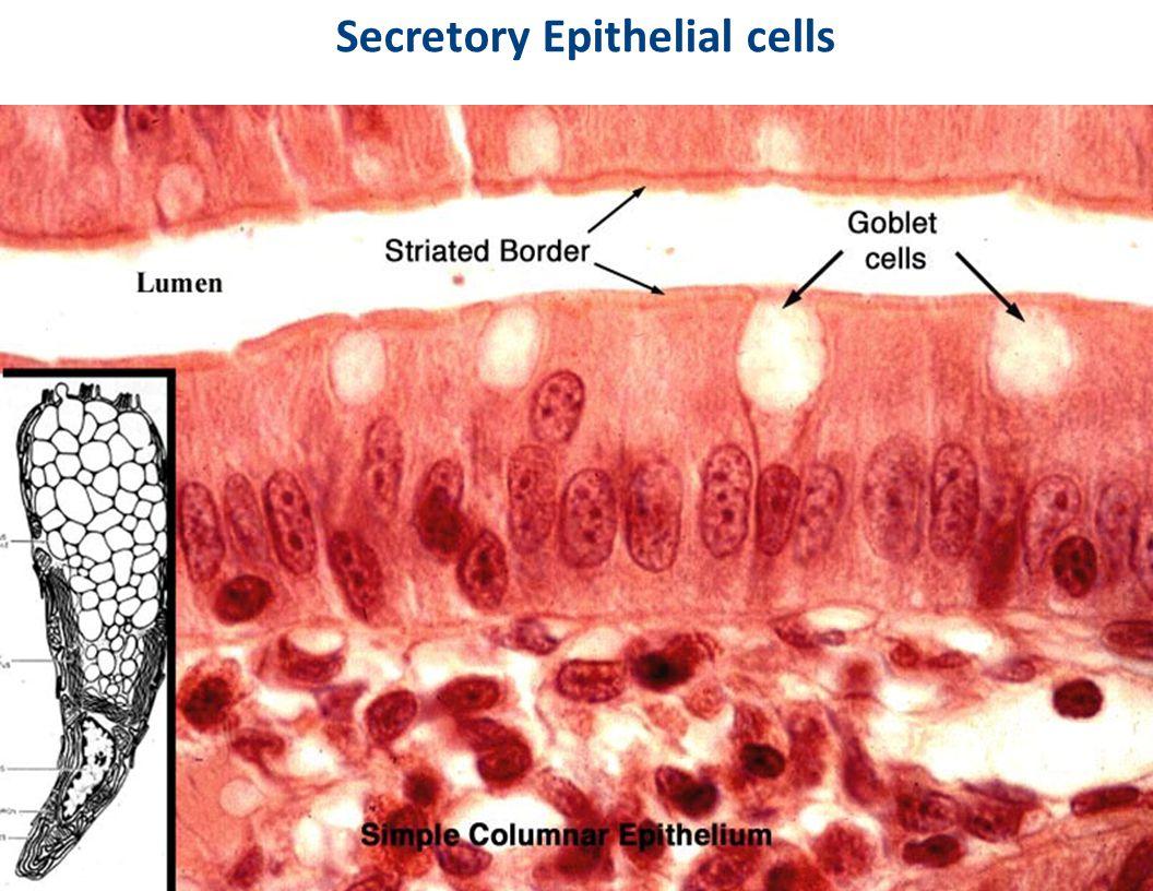 Secretory Epithelial cells