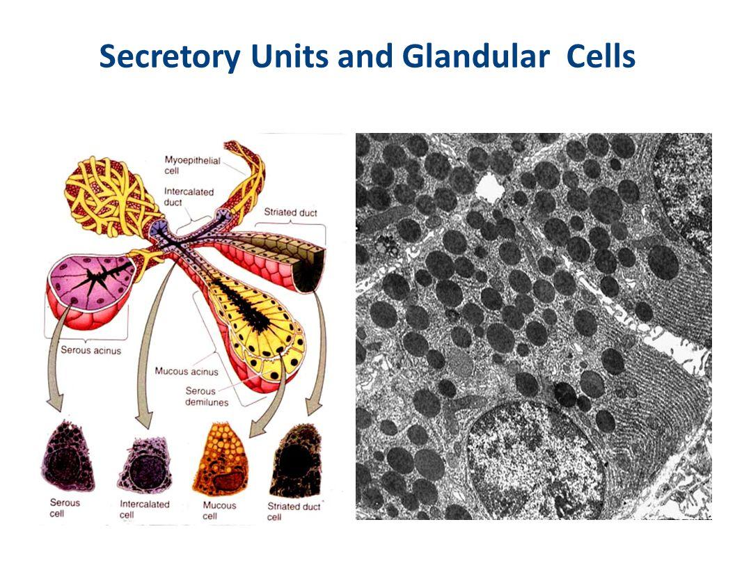 Secretory Units and Glandular Cells