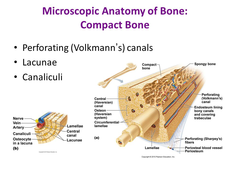 Microscopic Anatomy of Bone: