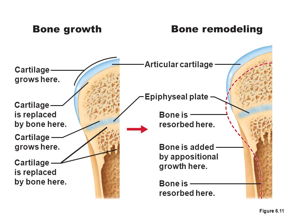 Bone growth Bone remodeling Articular cartilage Cartilage grows here.
