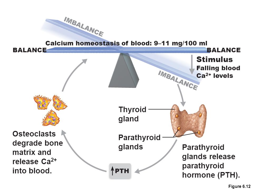 Stimulus Thyroid gland Osteoclasts Parathyroid degrade bone glands