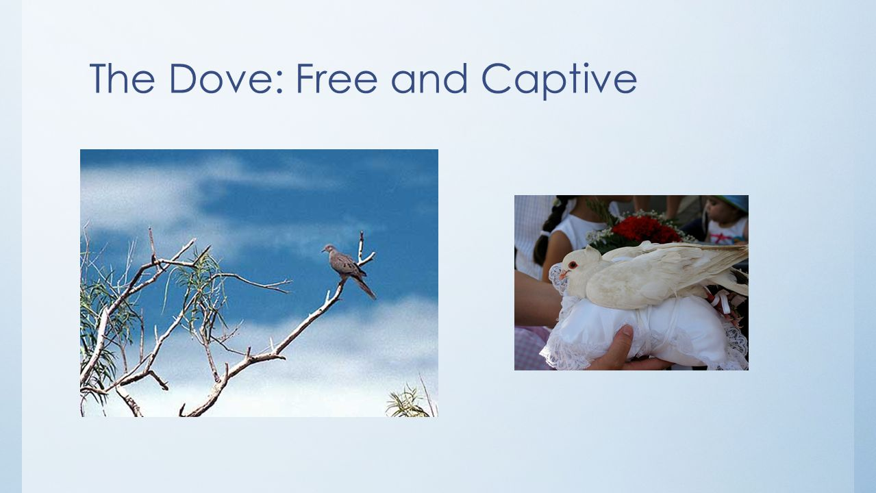 The Dove: Free and Captive