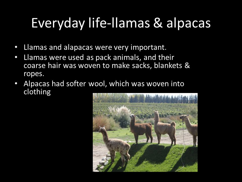 Everyday life-llamas & alpacas