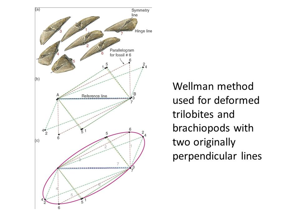 Wellman method used for deformed trilobites and brachiopods with two originally perpendicular lines