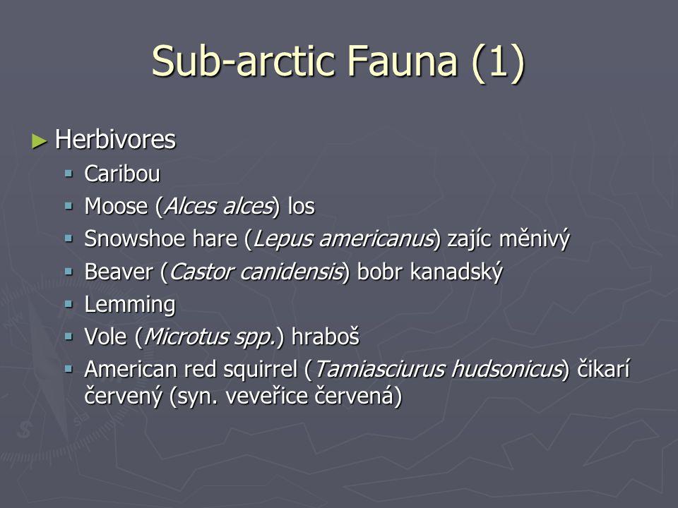 Sub-arctic Fauna (1) Herbivores Caribou Moose (Alces alces) los