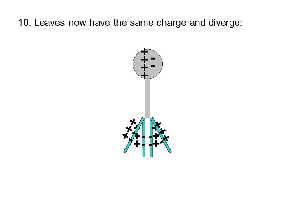 10. Leaves now have the same charge and diverge: