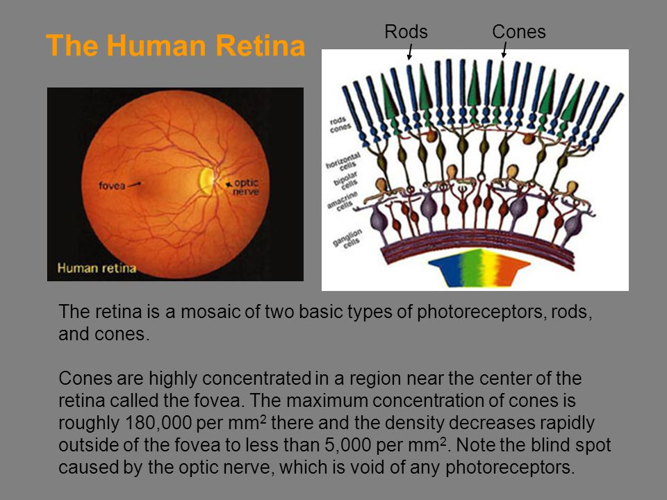 The Human Retina Rods Cones