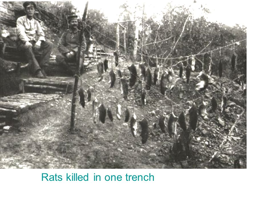 Rats killed in one trench