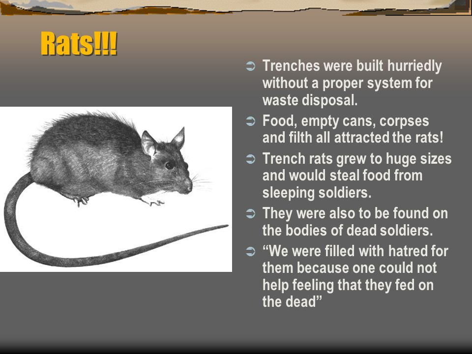 Rats!!! Trenches were built hurriedly without a proper system for waste disposal. Food, empty cans, corpses and filth all attracted the rats!