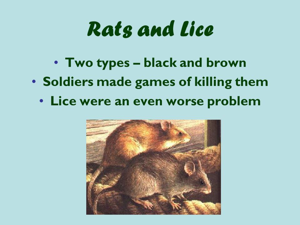 Rats and Lice Two types – black and brown