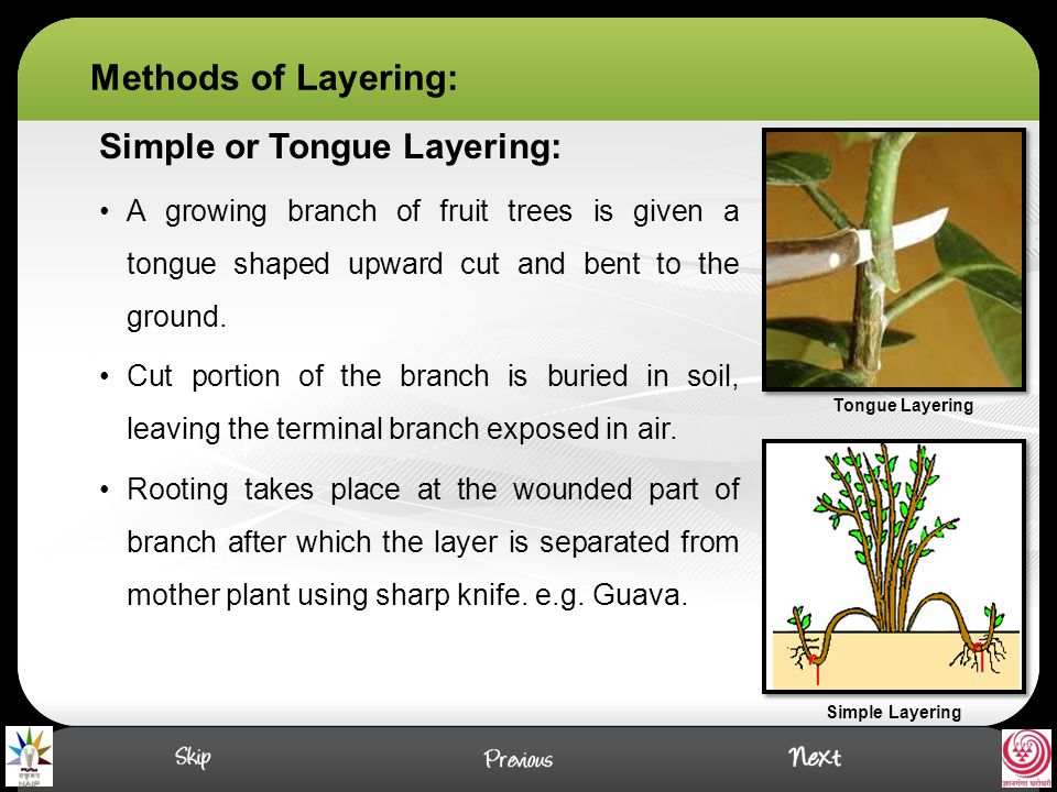 Methods of Layering: Simple or Tongue Layering: