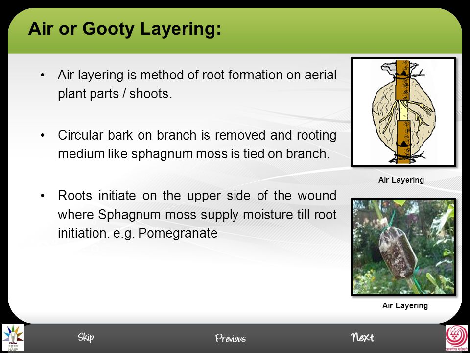Air or Gooty Layering: Air layering is method of root formation on aerial plant parts / shoots.