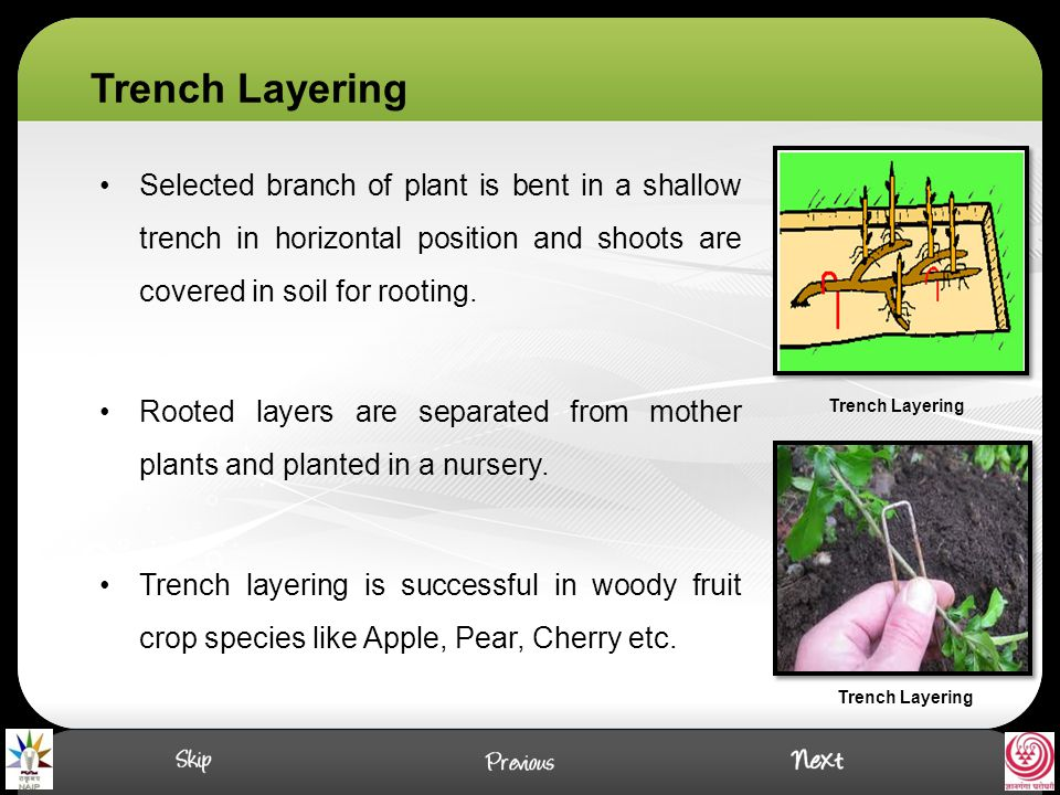 Trench Layering Selected branch of plant is bent in a shallow trench in horizontal position and shoots are covered in soil for rooting.