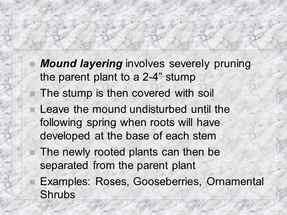 Mound layering involves severely pruning the parent plant to a 2-4 stump