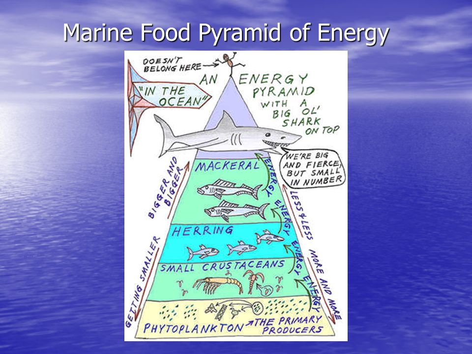 Marine Food Pyramid of Energy