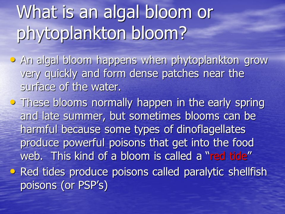 What is an algal bloom or phytoplankton bloom