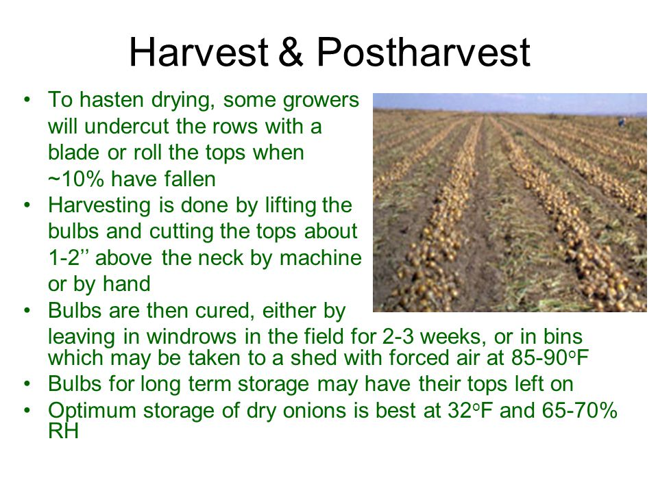 Harvest & Postharvest To hasten drying, some growers