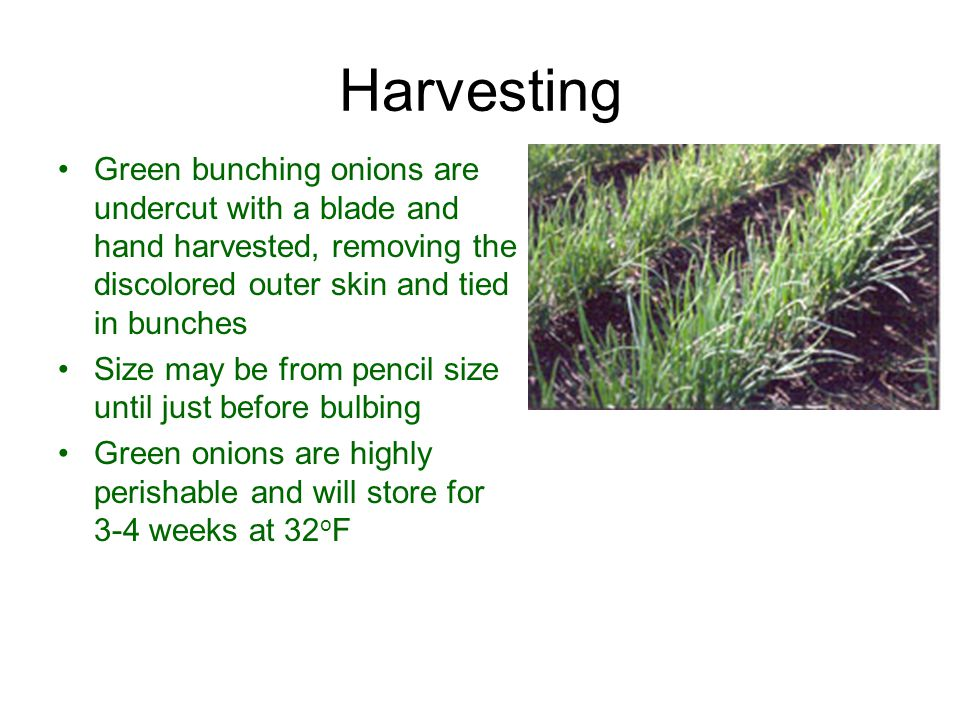Harvesting Green bunching onions are undercut with a blade and hand harvested, removing the discolored outer skin and tied in bunches.