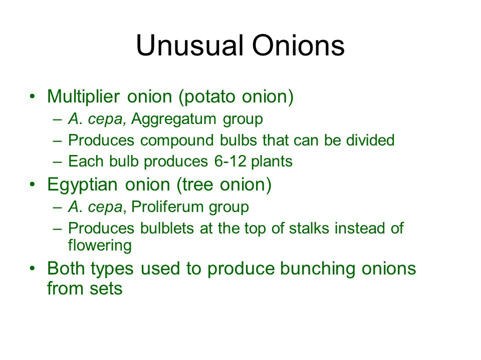 Unusual Onions Multiplier onion (potato onion)