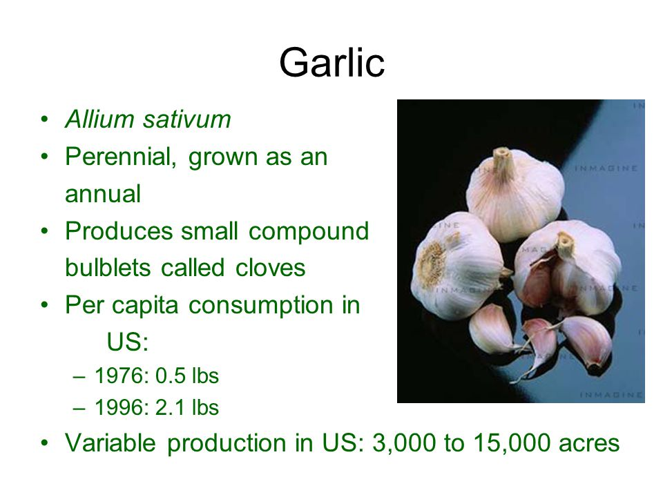 Garlic Allium sativum Perennial, grown as an annual