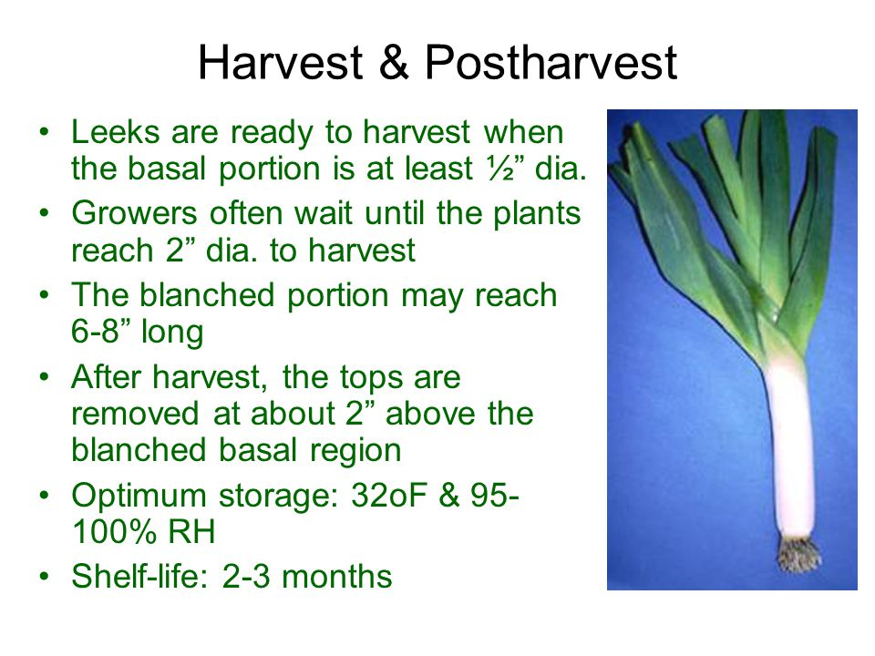 Harvest & Postharvest Leeks are ready to harvest when the basal portion is at least ½ dia.