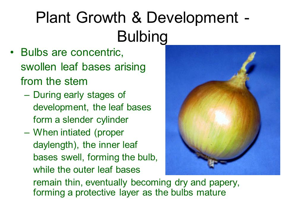 Plant Growth & Development - Bulbing