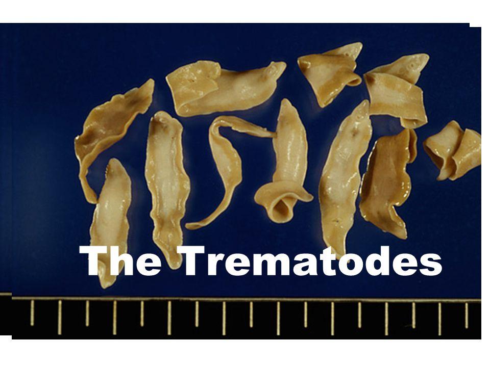 The Trematodes