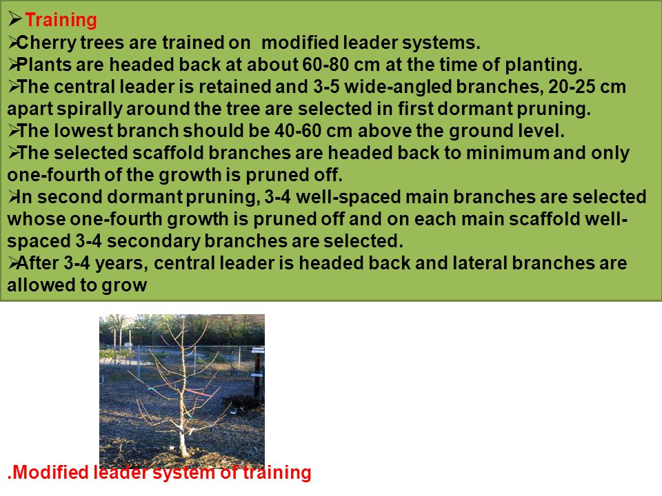 Training Cherry trees are trained on modified leader systems.