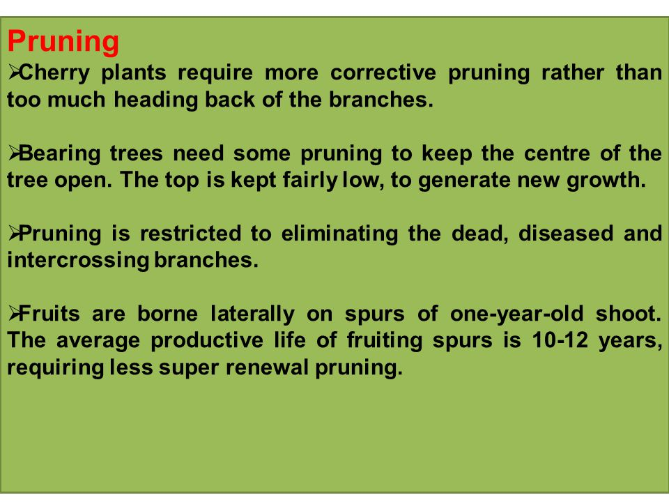 Pruning Cherry plants require more corrective pruning rather than too much heading back of the branches.