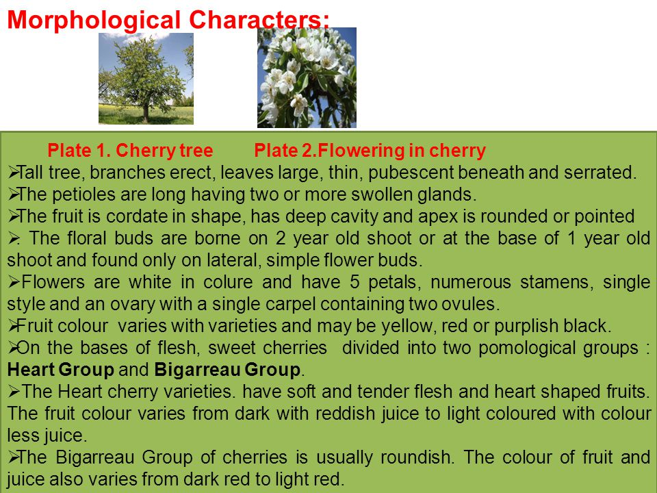 Morphological Characters: