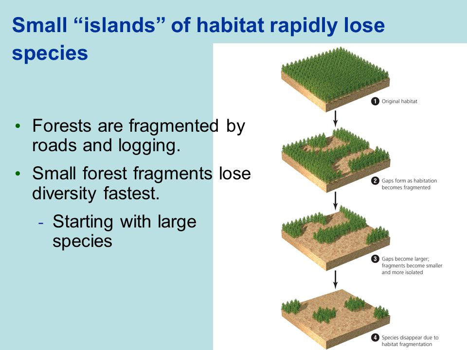 Small islands of habitat rapidly lose species
