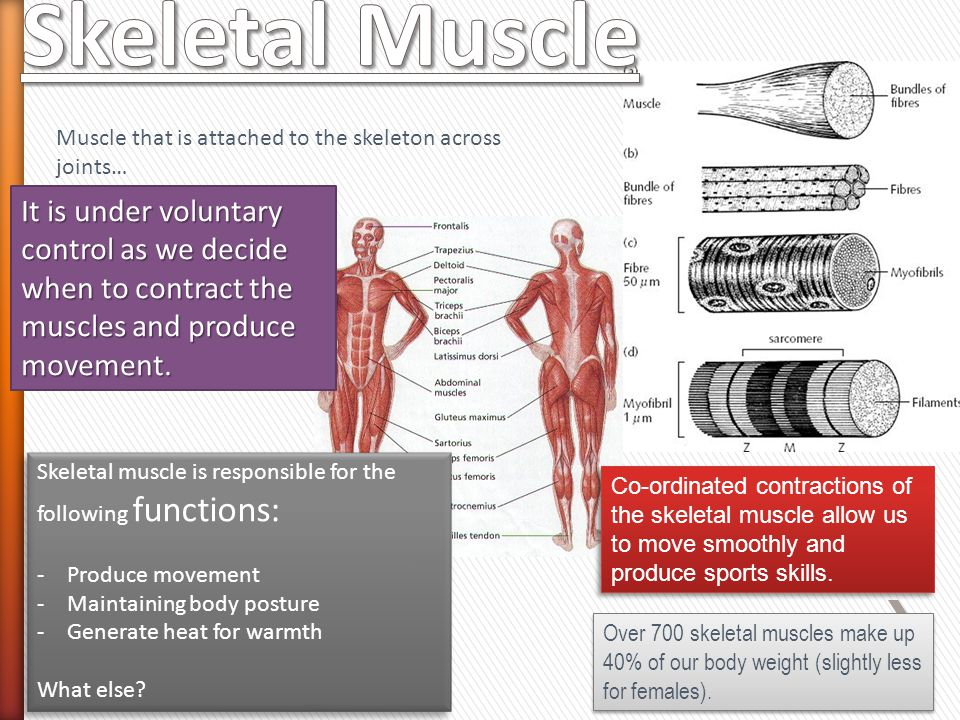 Skeletal Muscle Muscle that is attached to the skeleton across joints…