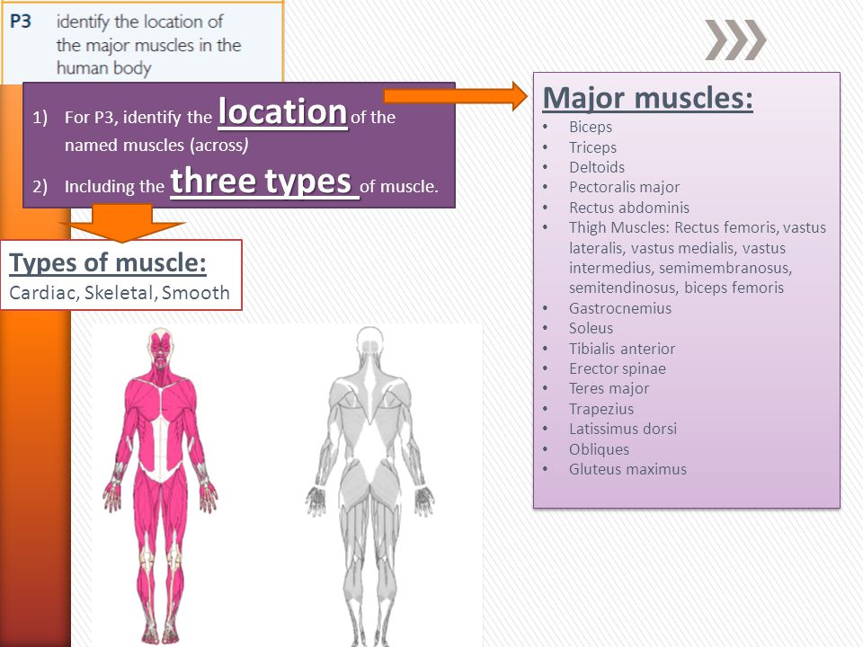 Major muscles: Types of muscle: Cardiac, Skeletal, Smooth